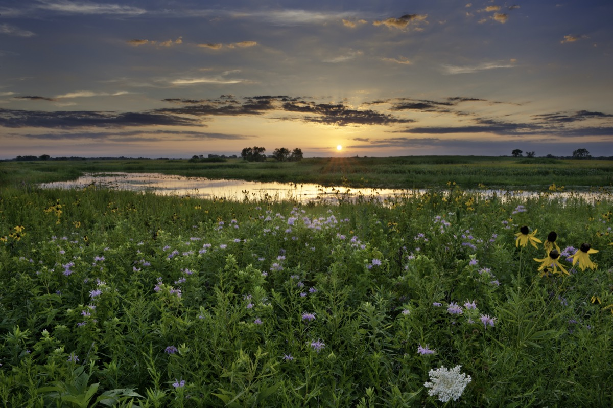 landscape photo of flowers and a field in Naperville, Illinois at sunset