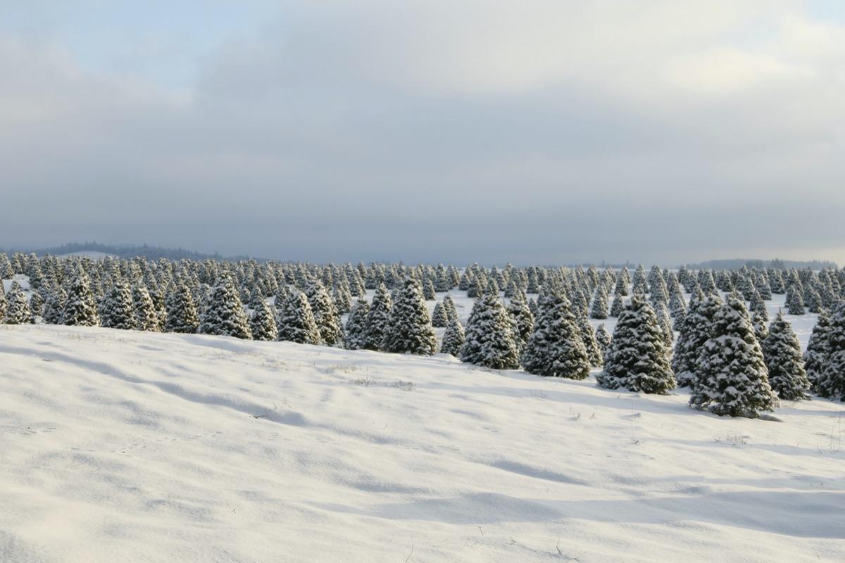 Christmas tree farm in the snow