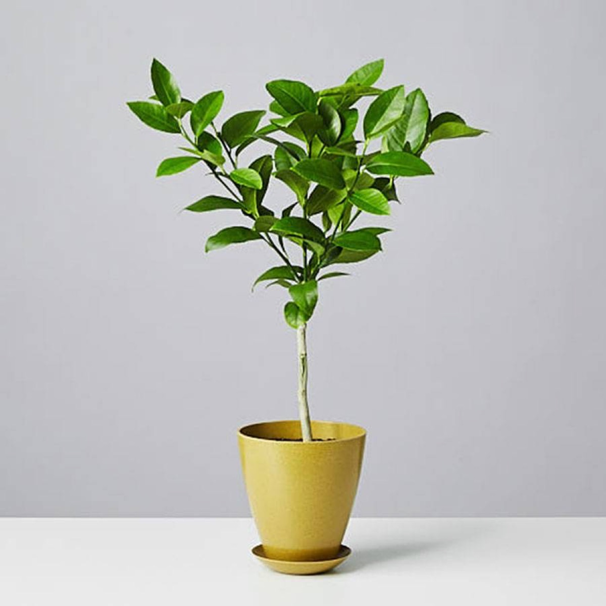 small meyer lemon tree in green pot