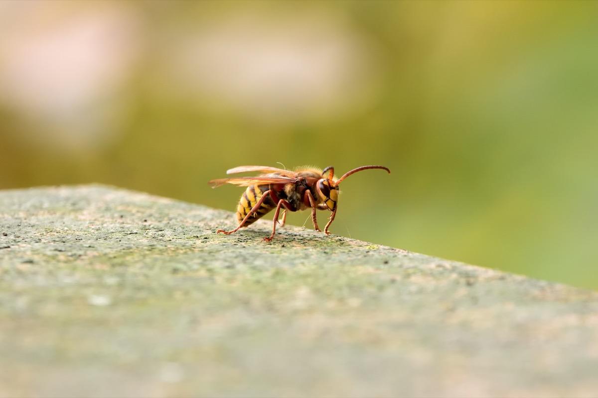 an isolated murder hornet on a ledge