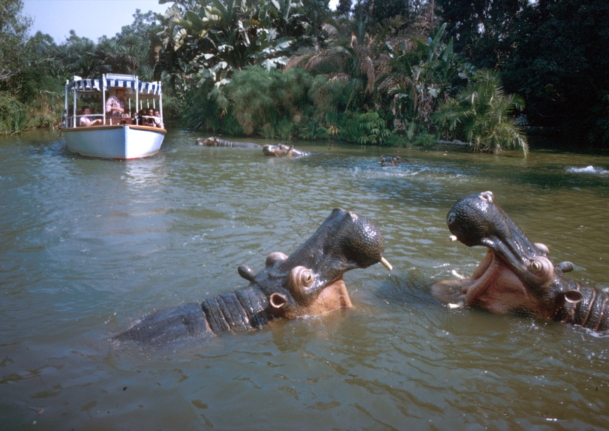 Hippos on Disneyland's Jungle Cruise