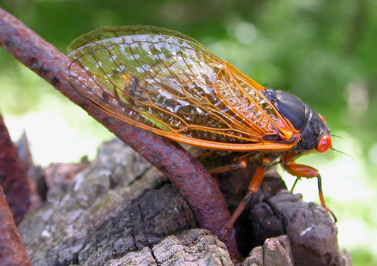 Seventeen-year cicada on tree