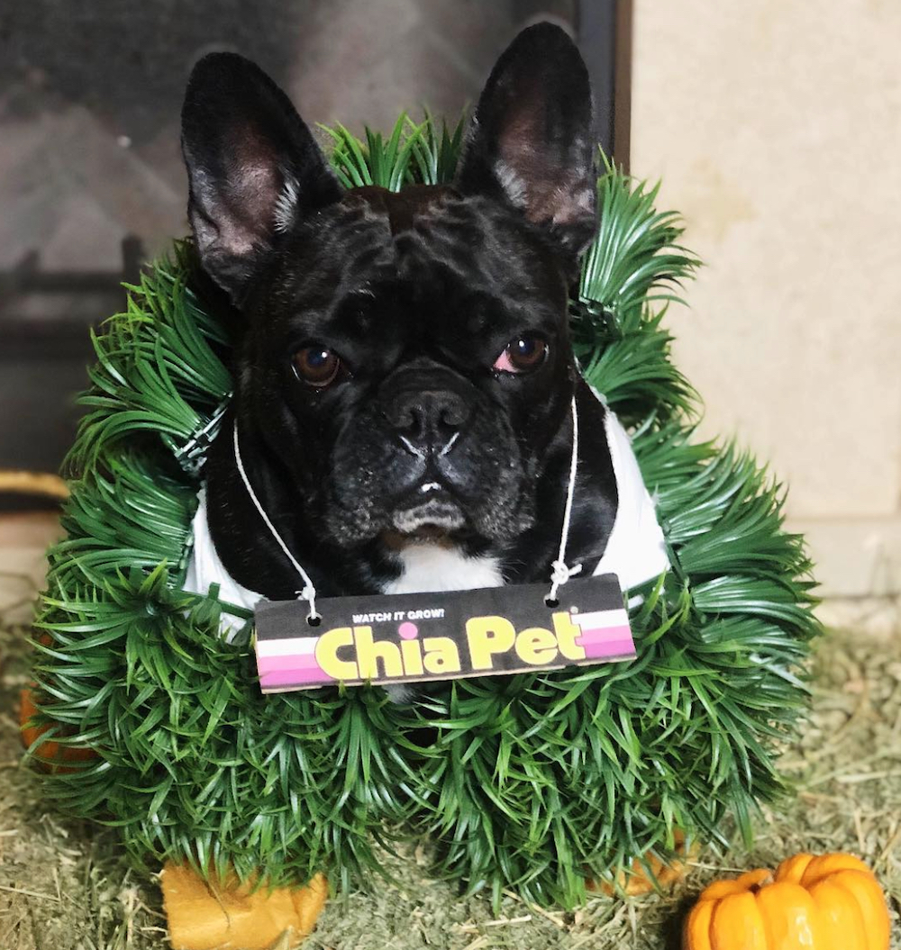 Lady Gaga's dog Miss Asia dressed as a Chia Pet for Halloween 2018