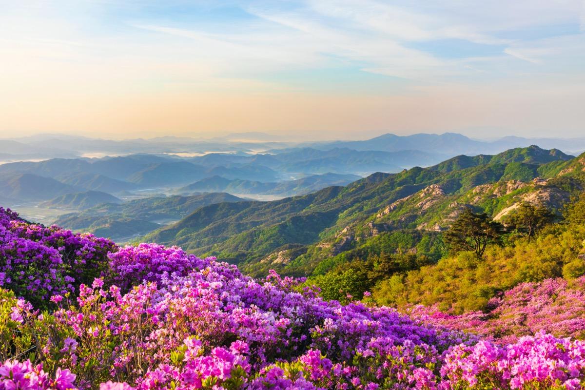 Azaleas on Hwangmaesan Mountain in Korea