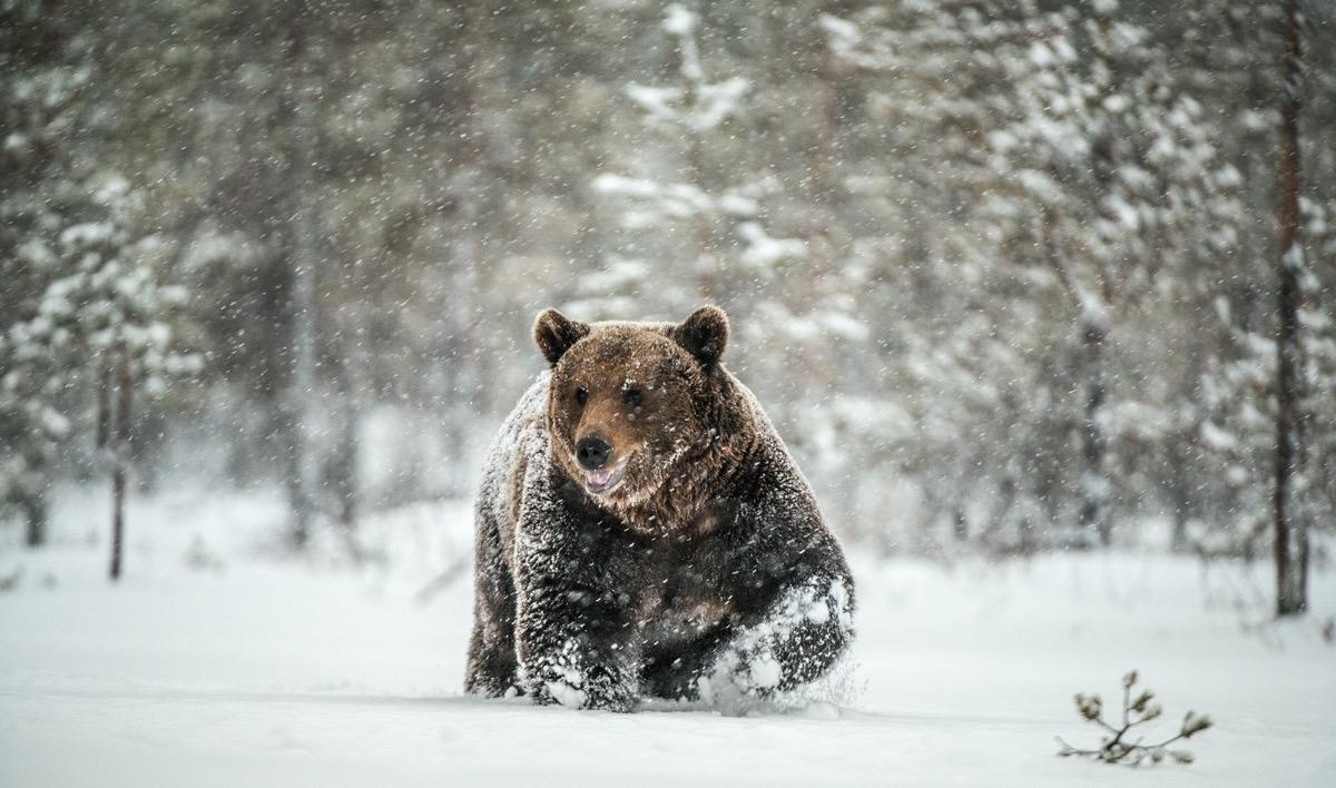 Brown bear in snow