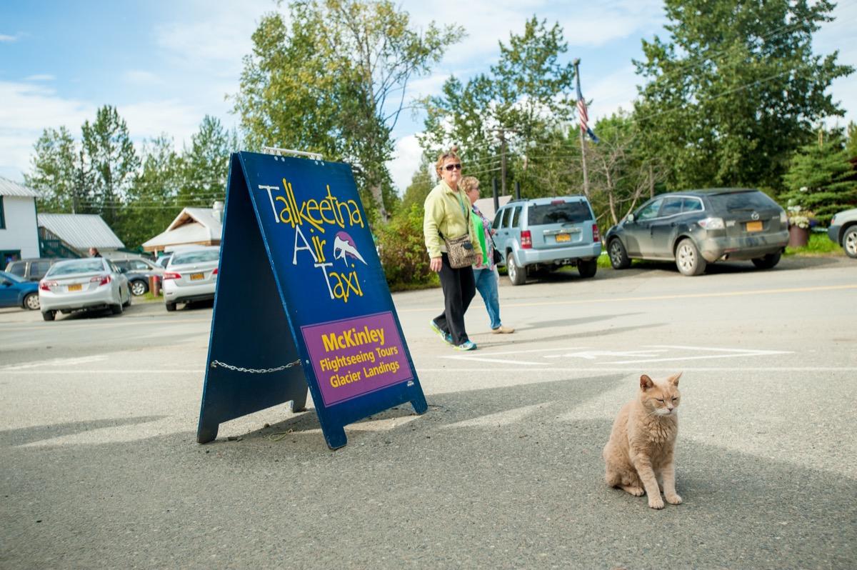 Mayor Stubbs the cat in Talkeetna, Alaska