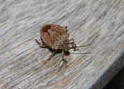 Stink bug on wooden deck