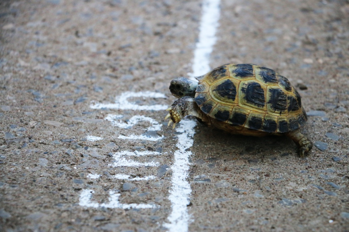 Turle crossing chalk finish line