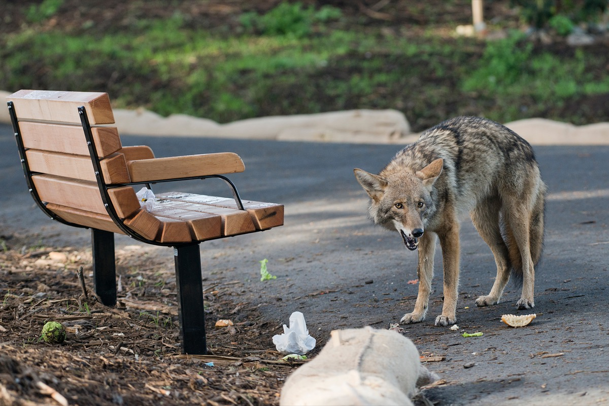 Coyote eating trash in public