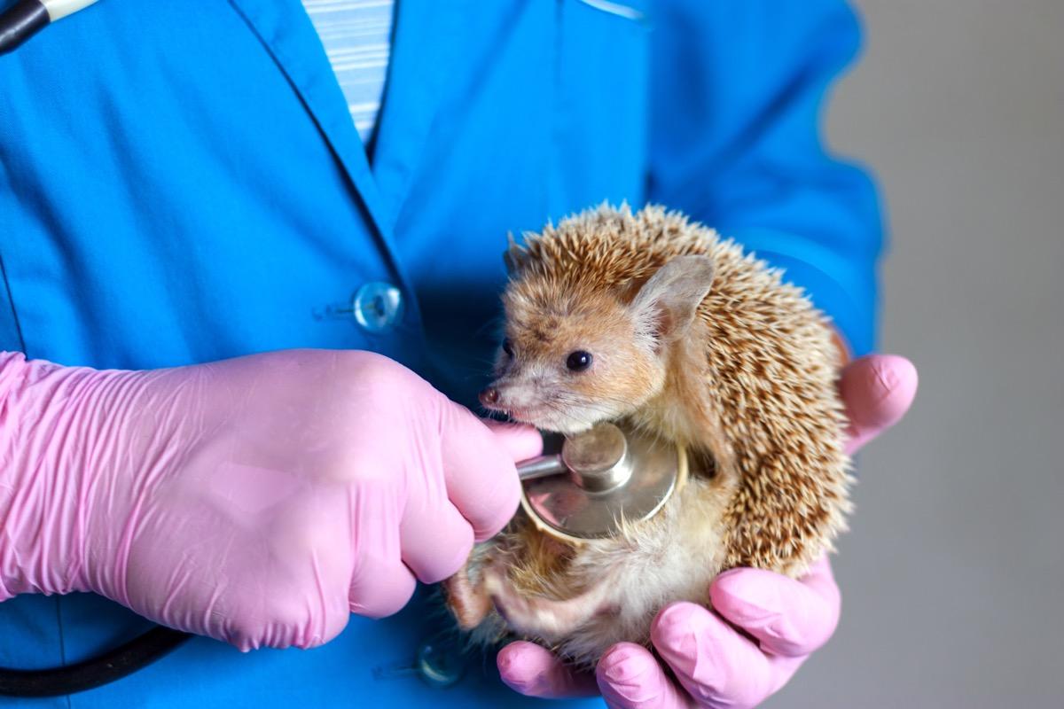 sick hedgehog at vet