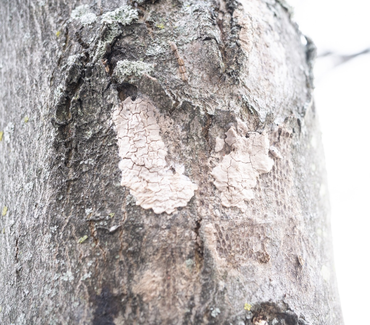 Spotted lanternfly egg mass on a tree
