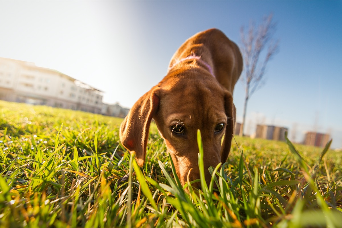 Dog sniffing grass