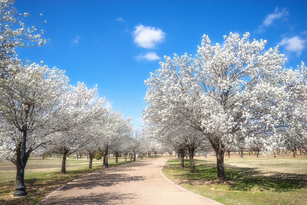 blue skies, bradford pear trees, white leaves