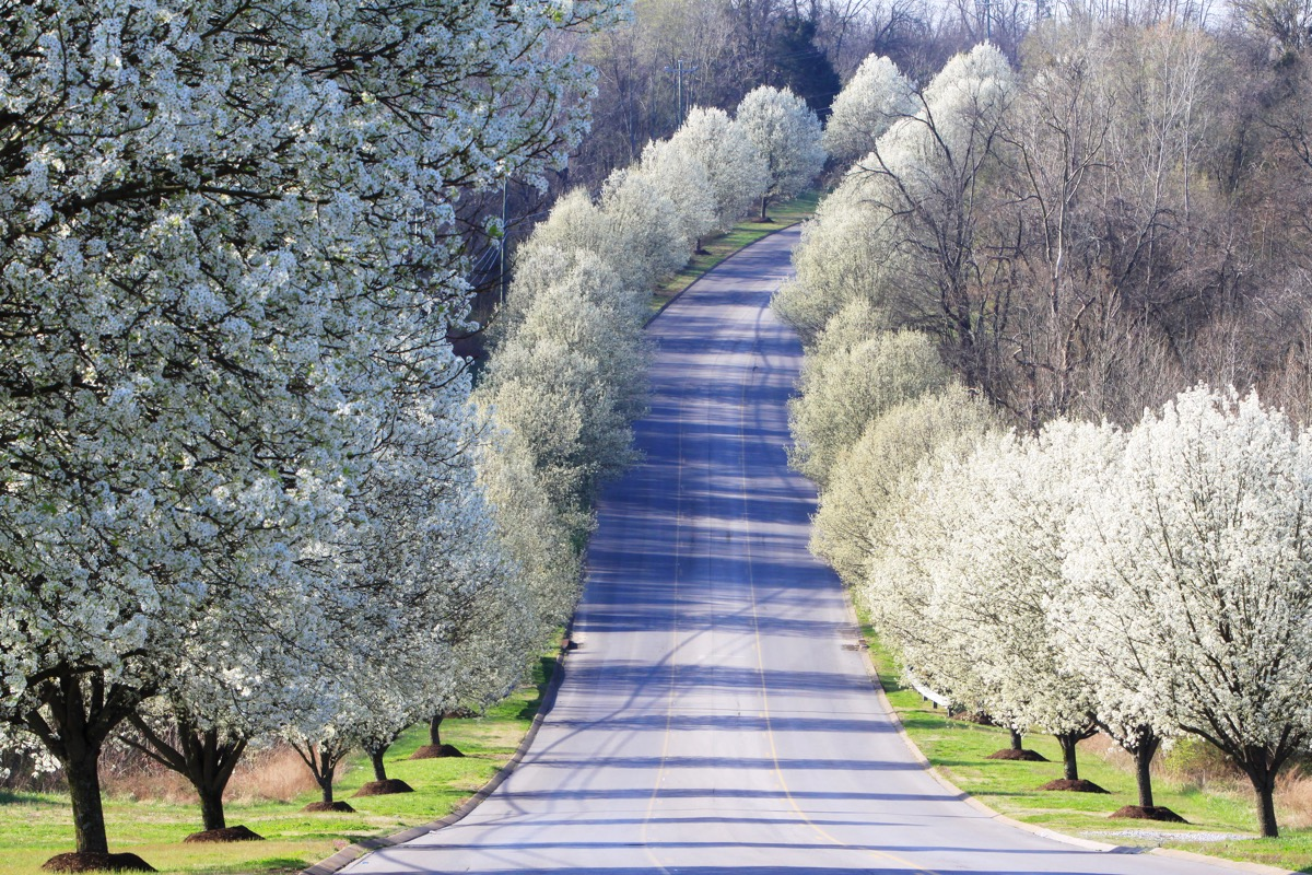 Bradford pear trees are primarily grown as ornamental trees for their spring flora. The fruits, which are inedible raw, can be used to make wine and seasonings.