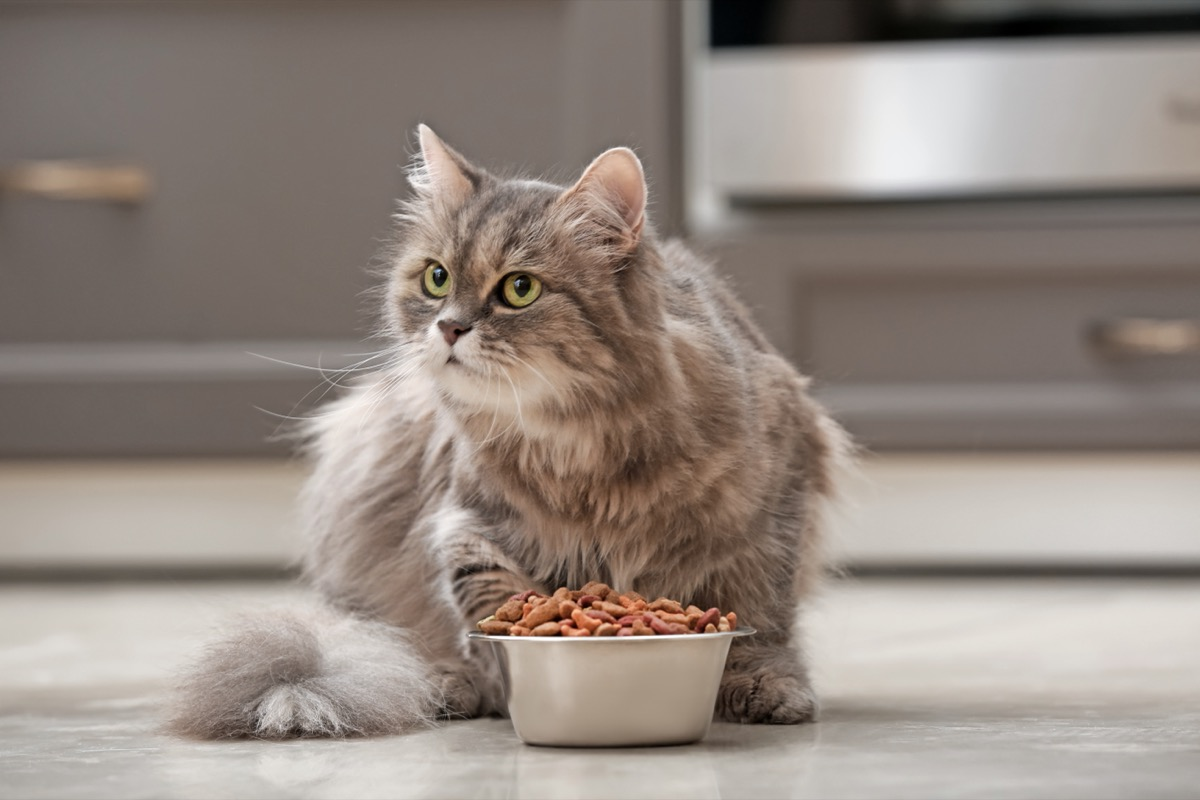 long haired cat eating dry cat food from silver bowl