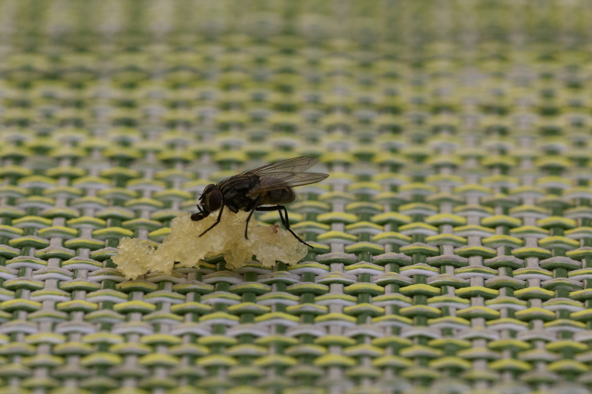 black fly trying to feed