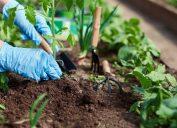 hands, blue gloves, planting in dirt, garden