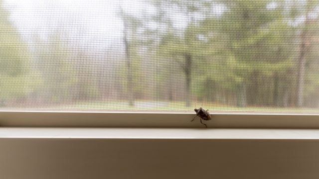 Get rid of stink bug
