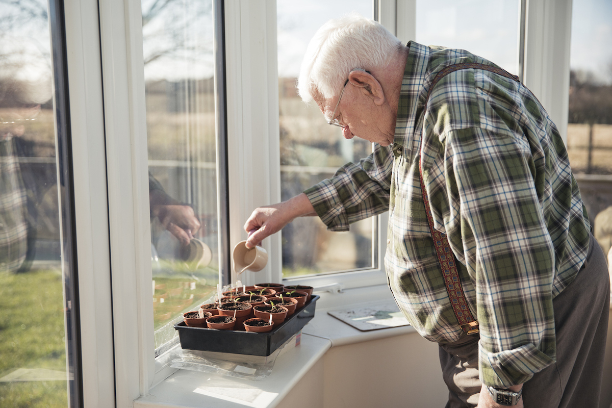 Senior man tending to his tomato plants in his conservatory.