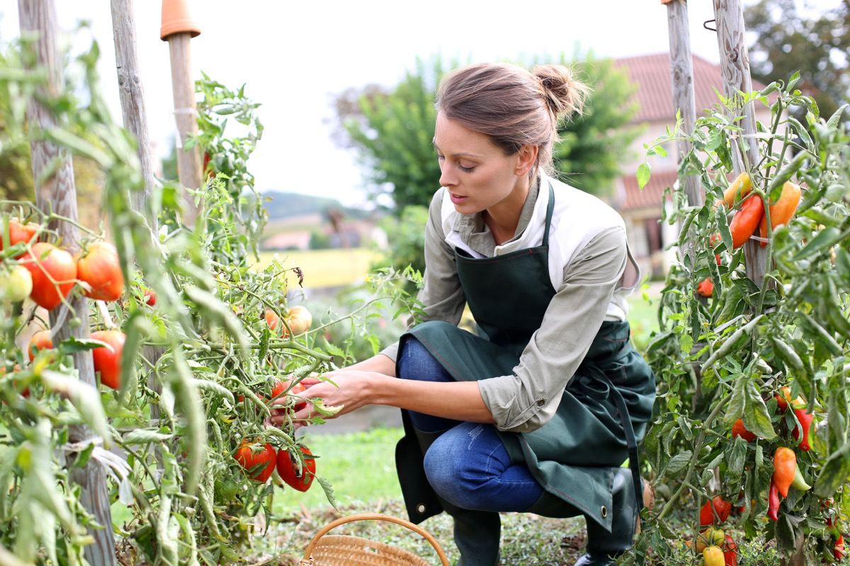 woman picking tomatoes in garden