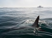 Fin of a Great White Shark in water.