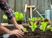 lettuce seedlings in garden