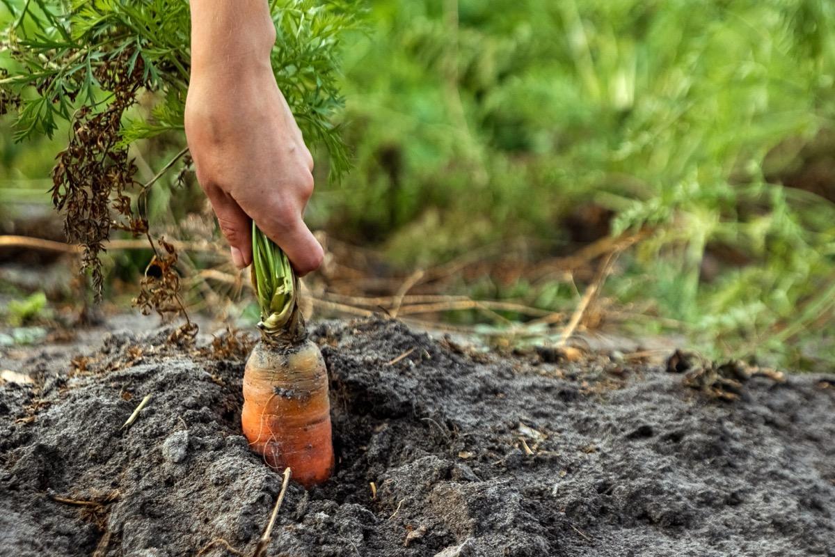 pulling carrot from garden
