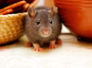 juvenile rat hiding between bowls in kitchen