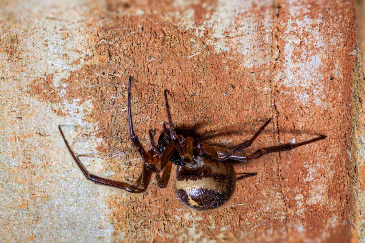 Noble false widow spider