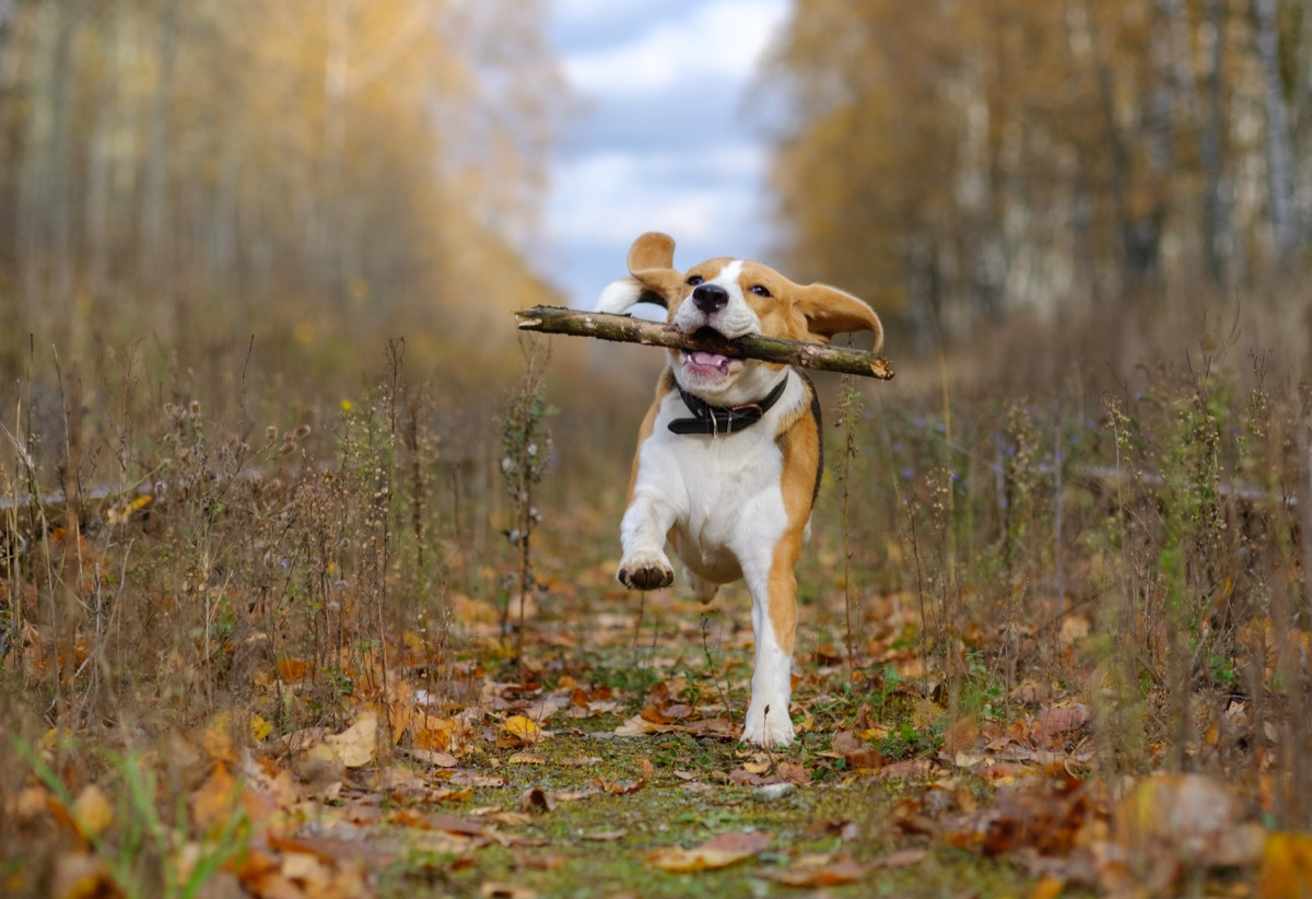 Dog with a stick