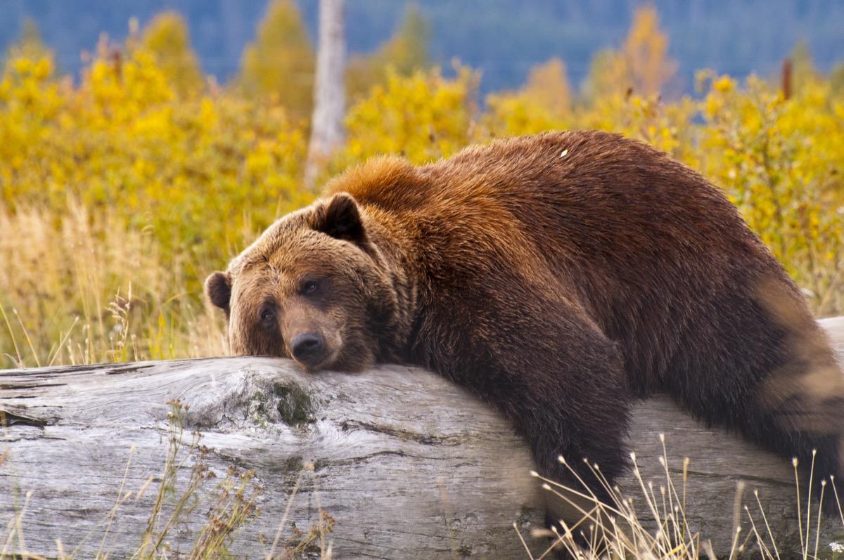 Brown bear sleeping on tree