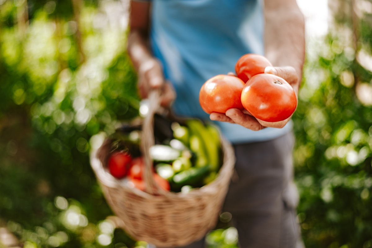 Farm worker showing a bunch of tomatoes