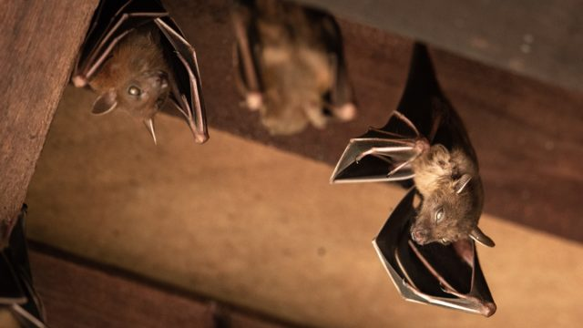 bats hanging in a wooden attic