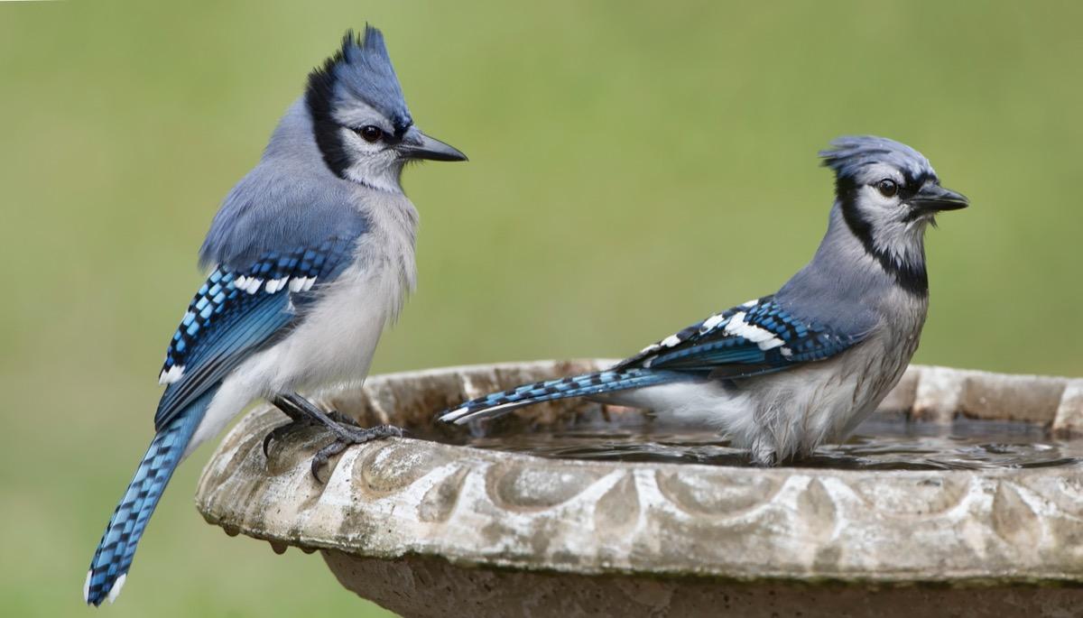 two blue jays in a stone bird bath