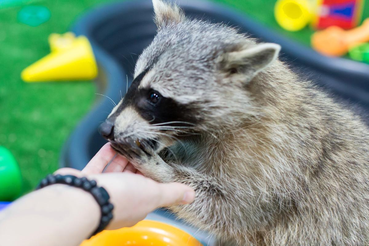 person feeding friendly raccoon