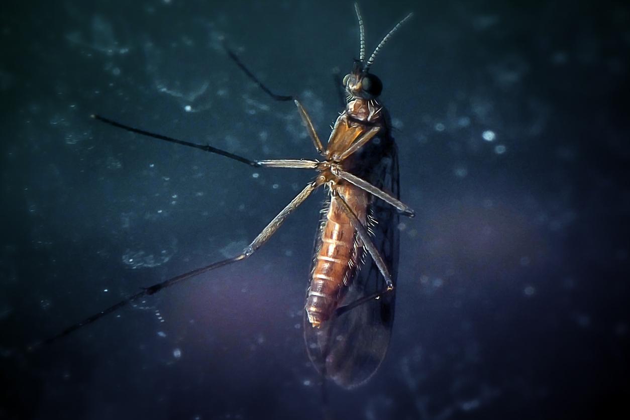 A macro shot of a gnat