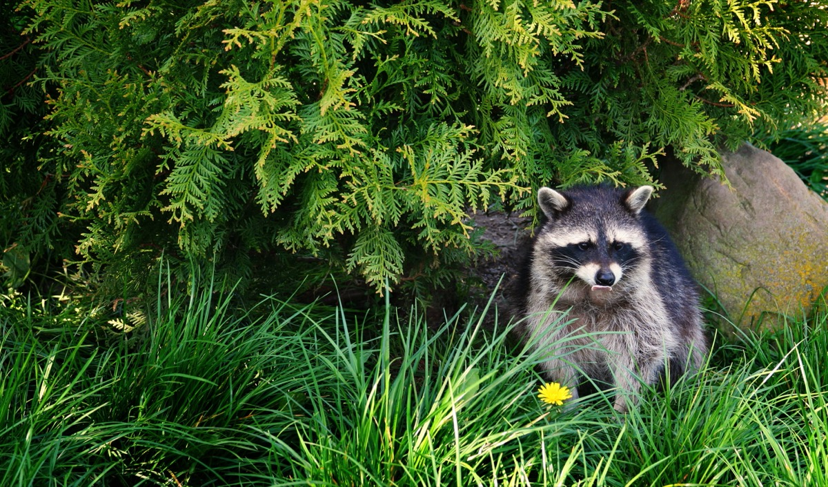 raccoon sitting in grass