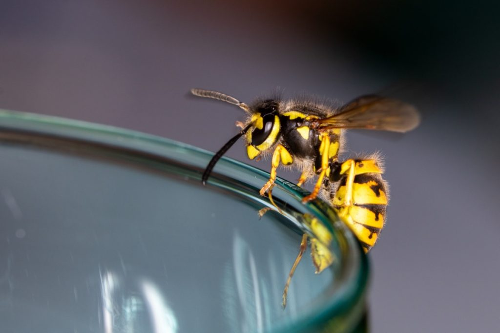 wasp on the rim of a glass