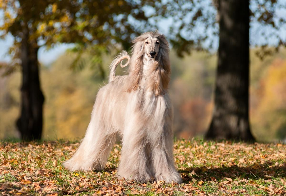 anjing Afganistan