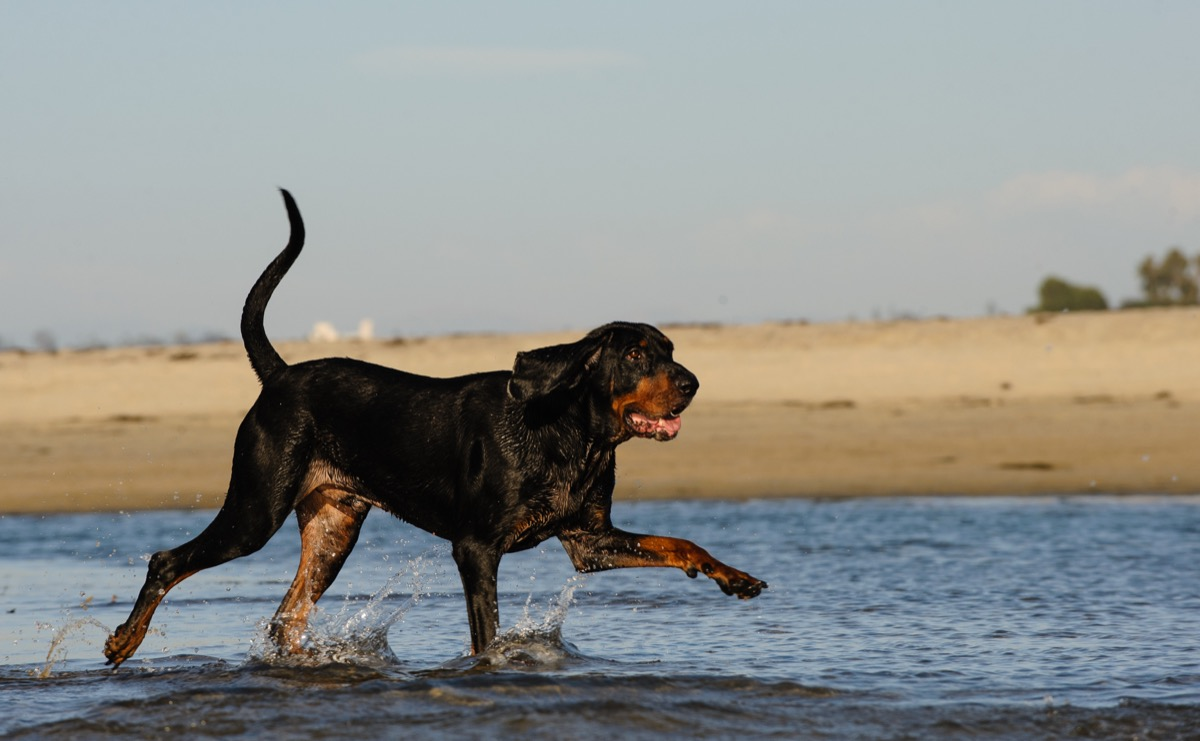 Jenis anjing Black and Tan Coonhound