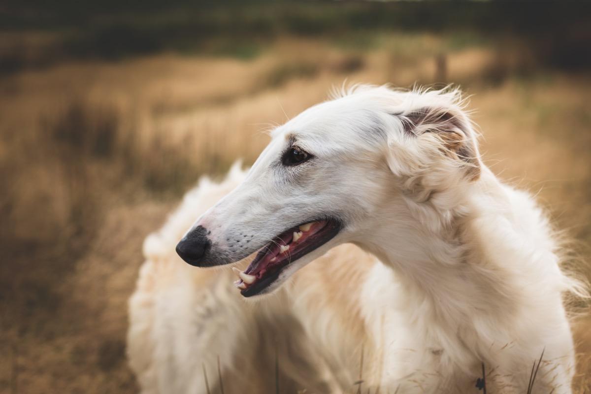Jenis anjing Borzoi