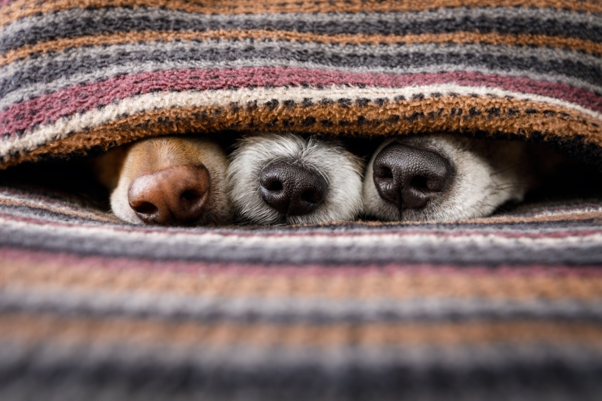 Dog noses poking out of blanket