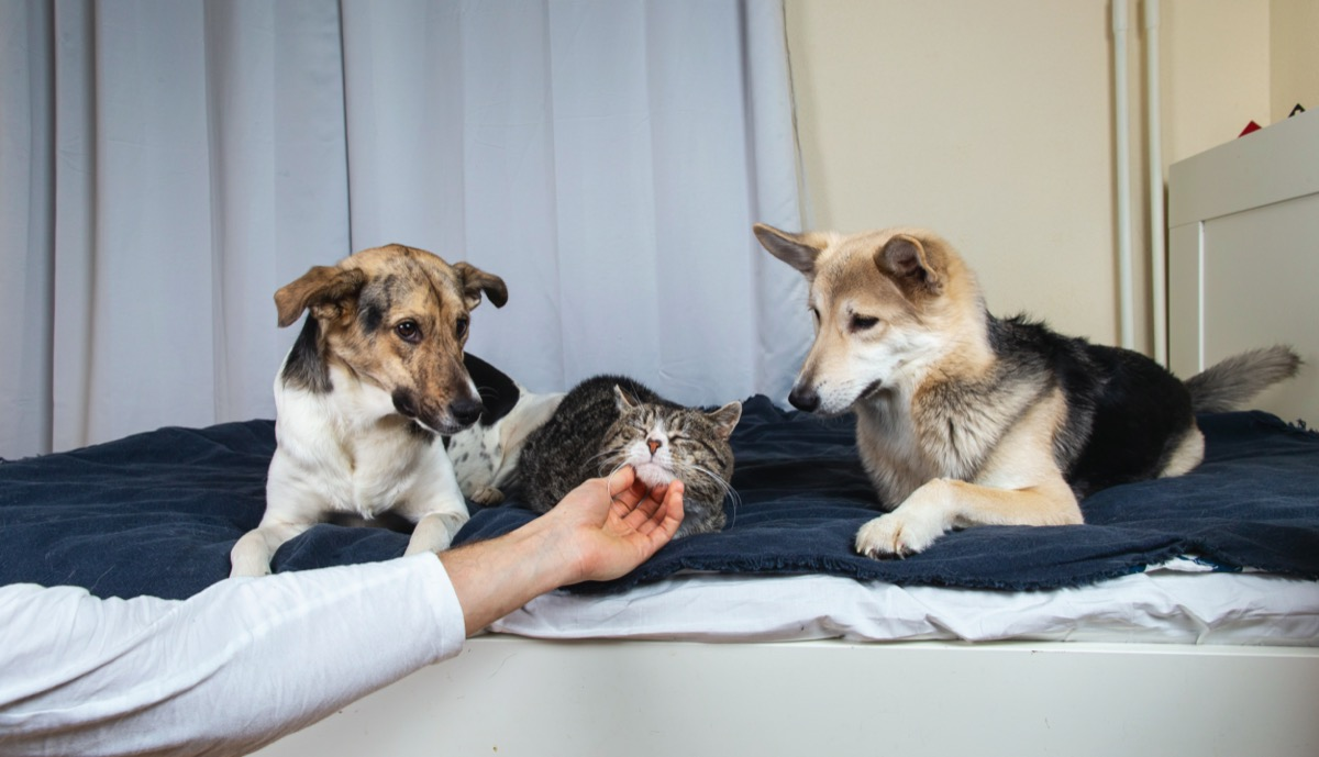 Two dogs jealous of cat being scratched