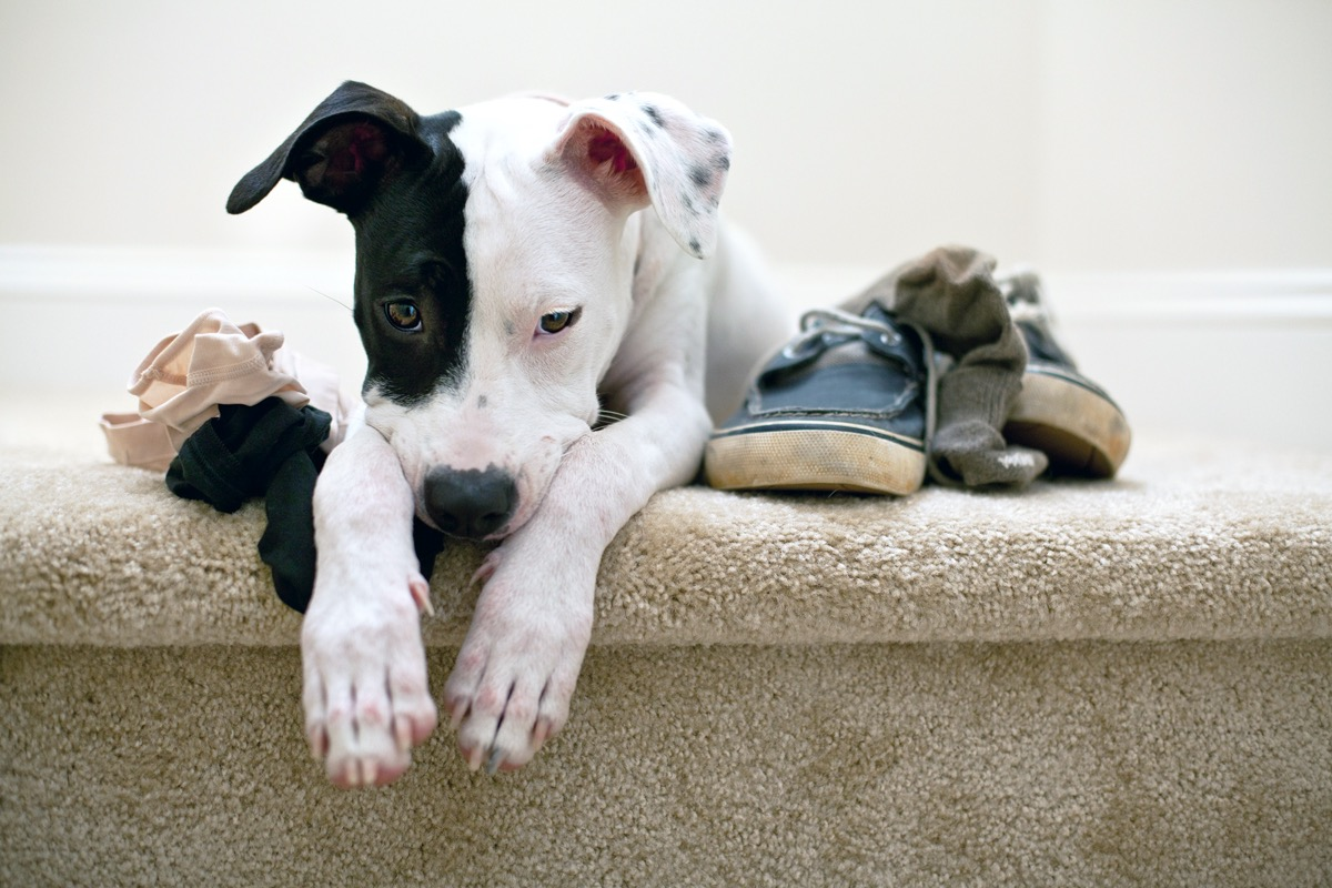 Dog looking guilty laying on stairs with chewed shoes and underwear