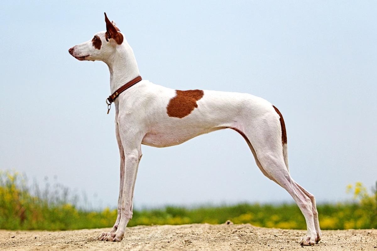Anjing Ibiza