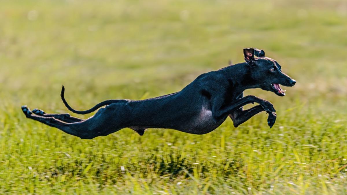 Anjing Greyhound Italia