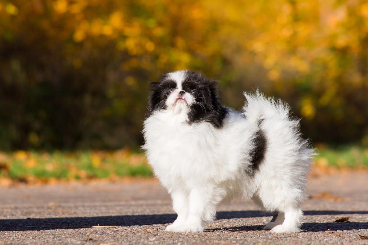 Jenis anjing Chin Jepang