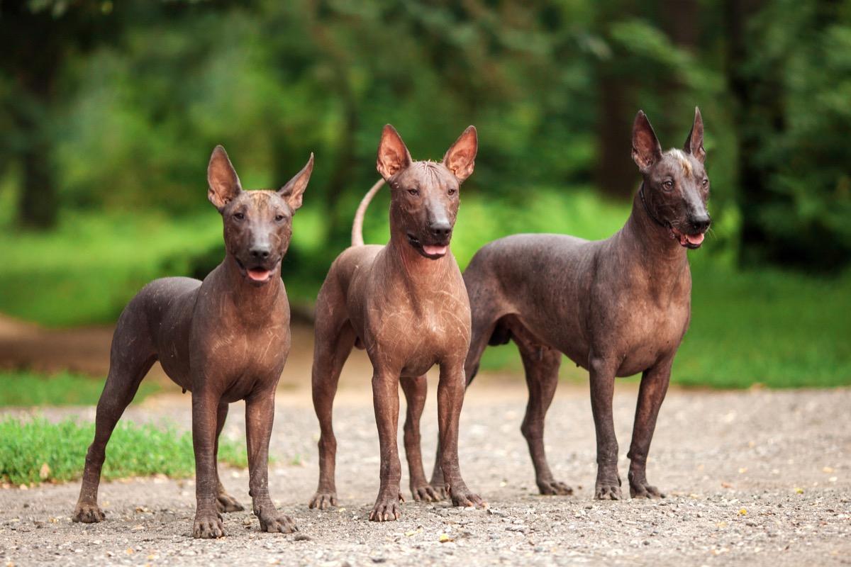 Anjing Meksiko yang tidak berbulu