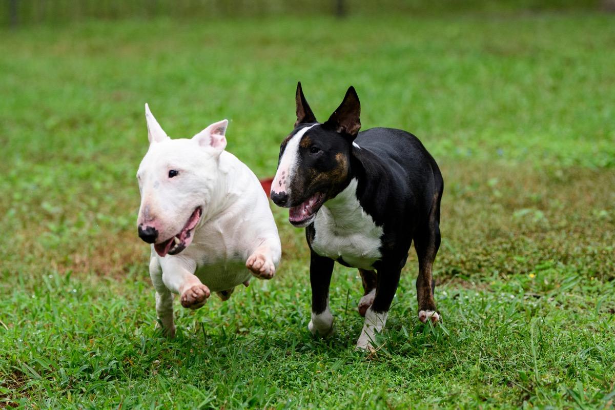 Terrier banteng mini