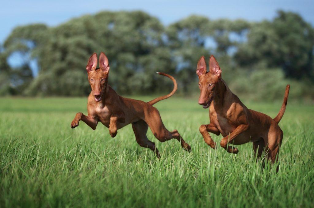 Anjing Firaun berlari